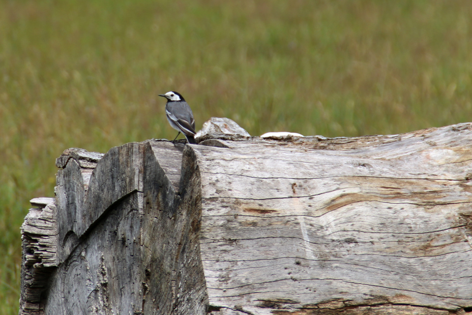 Белая трясогузка (дат. Hvid Vipstjert, лат. Motacilla alba). Охотничьи угодья в Северной Зеландии (Jægersborg Dyrehave), Дания. Фото 9 июля 2021