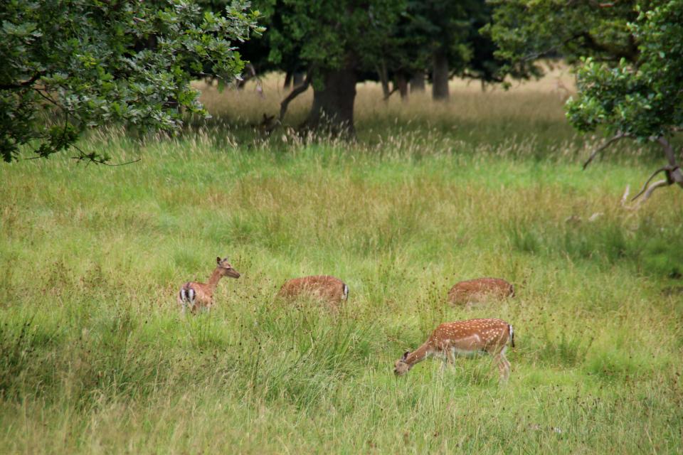 Пятнистый олень. Охотничьи угодья в Северной Зеландии (Jægersborg Dyrehave), Дания. Фото 9 июля 2021
