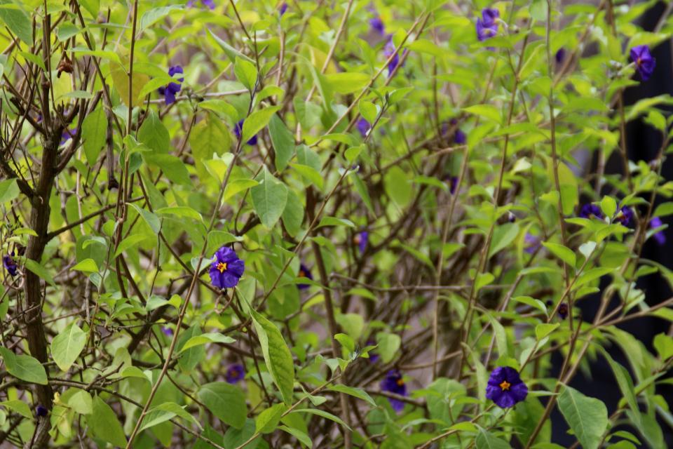 Паслен горечавковидный (дат. Paraguay-natskygge, лат. Solanum rantonnetii). Лесопарк Охотничьи угодья в Северной Зеландии (Jægersborg Dyrehave), Дания. Фото 9 июля 2021