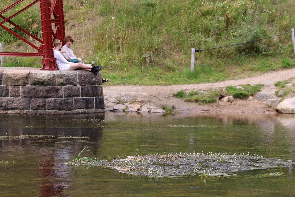Лютик водный (дат. Vandranunkel, лат. Ranunculus aquatilis). Открытый заново мост (Den Genfundne Bro), Брэдструп (Brædstrup), Дания. Фото 18 июл. 2021