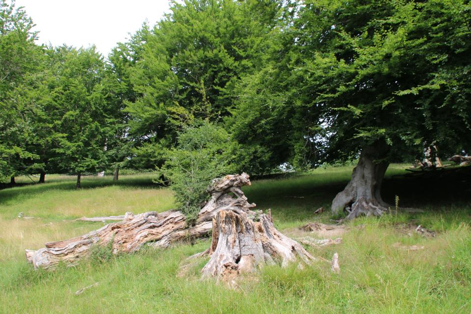 Деревья в парке животных Йегерсборг (Jægersborg Dyrehave), Дания. Фото 9 июля 2021