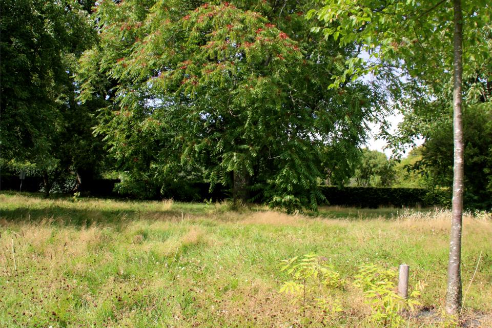Айлант высочайший (дат. Skyrækker, лат. Ailanthus altissima). Мемориальный парк Орхус, Дания. 9 авг. 2021