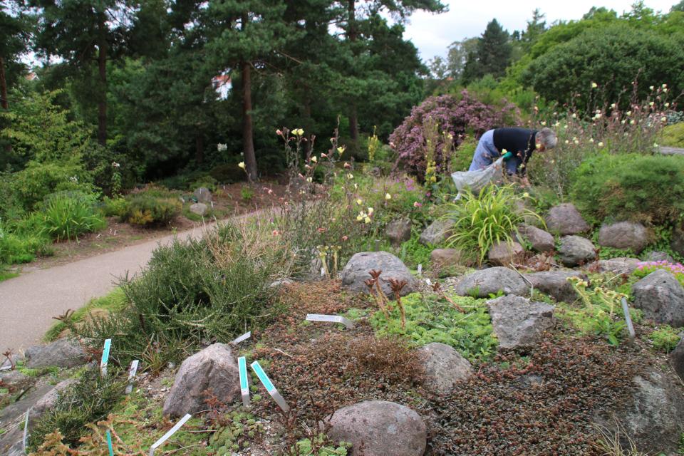 Каменистые горки ботанического сада с почвопокровным растением Ацена мелколистная. Фото 4 авг. 2021, г. Орхус, Дания