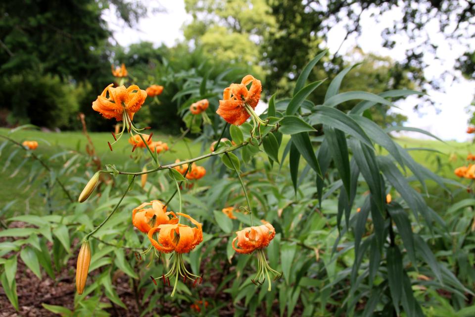 Лилия Генри (дат. Orange lilje, лат. Lilium henryi) в цвету. Ботанический сад Орхус 4 августа 2021, Дания