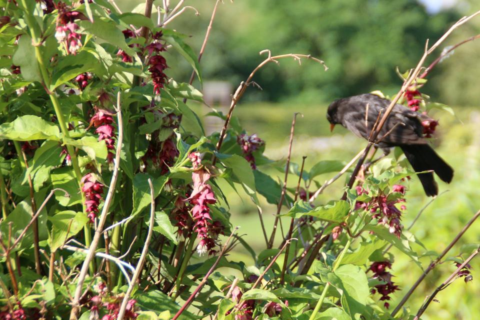 Скворец на цветущем кусте Лейцестерия красивая . Ботанический сад Орхус 4 августа 2021, Дания
