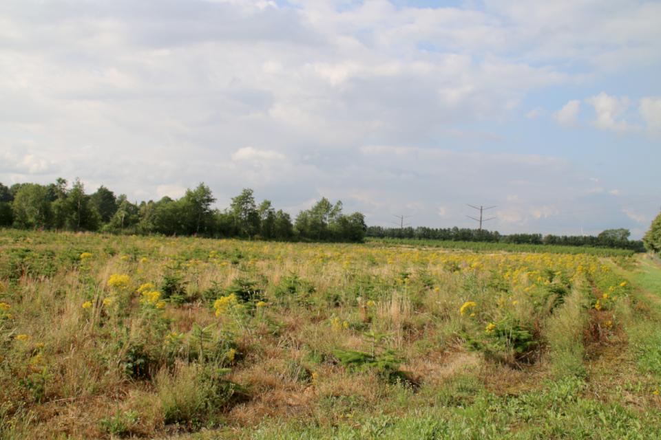 Пихта Нордмана - плантация, Бэкке, Дания. Фото 28 июл. 2021