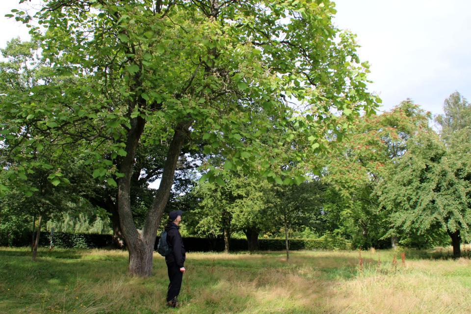 Катальпа (дат. Trompetkrone, лат. catalpa). Мемориальный парк Орхус, Дания. 9 авг. 2021