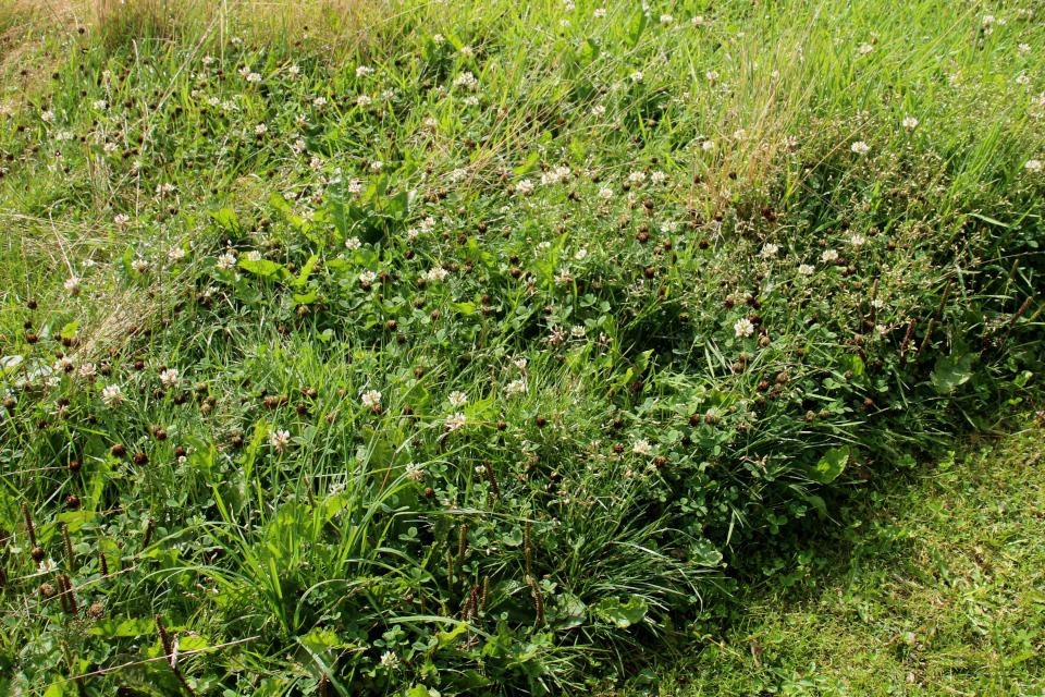 Клевер ползучий или Клевер белый (дат. Hvidkløver, лат. Trifolium repens). Мемориальный парк Орхус, Дания. 9 авг. 2021
