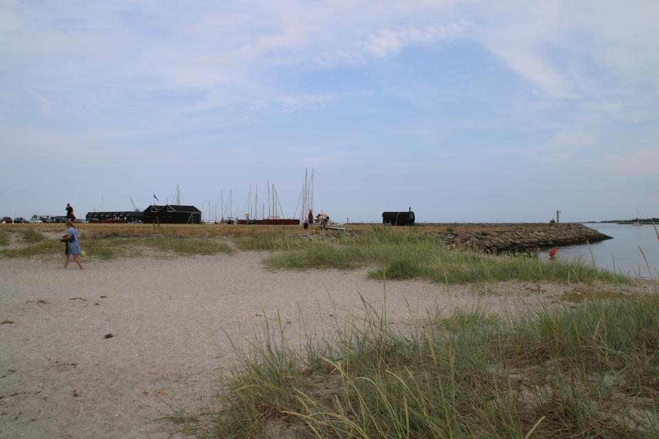 Колосняк песчаный (дат. marehalm, лат. Leymus arenarius). Фьорд Рандерс. Удбюхой (Udbyhøj, Havndal), Дания. Фото 28 июля 2021