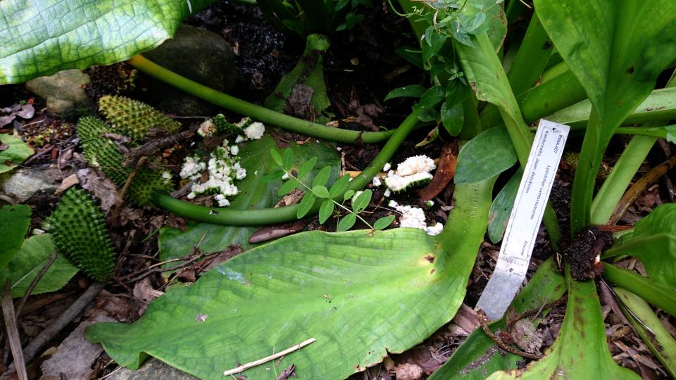 Лизихитон камчатский (дат. hvid kæmpekalla, лат. Lysichiton camtschatcensis). Ботанический сад, Орхус, 4 авг. 2021, Дания