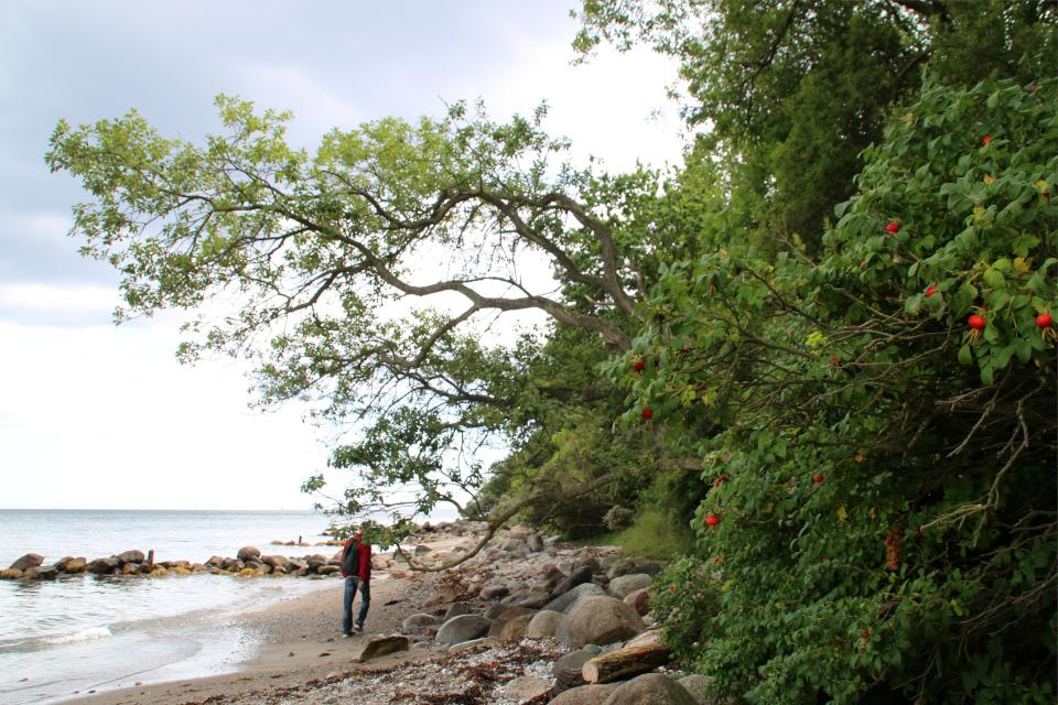 Роза морщинистая (дат. Rynket rose, лат. Rosa rugosa). Берег леса Марселисборг, Орхус, Дания. Фото 15 авг. 2021