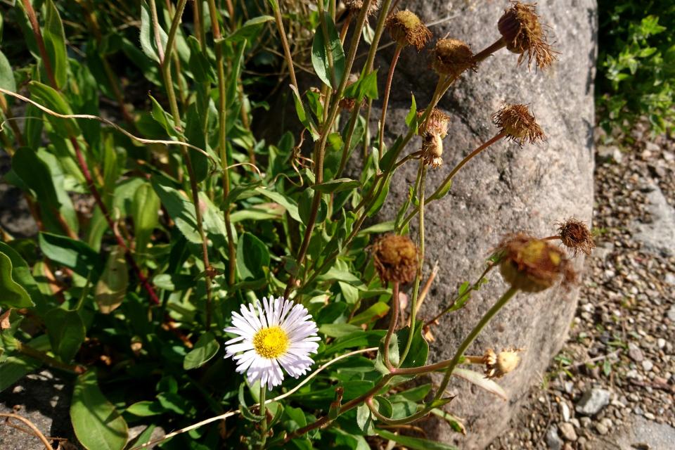Мелколепестник голенький (лат. Erigeron glabellus). Ботанический сад Орхус 4 августа 2021, Дания