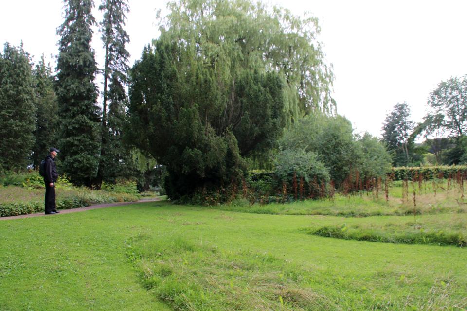Конский щавель (лат. Rumex confertus). Мемориальный парк Орхус, Дания. 9 авг. 2021