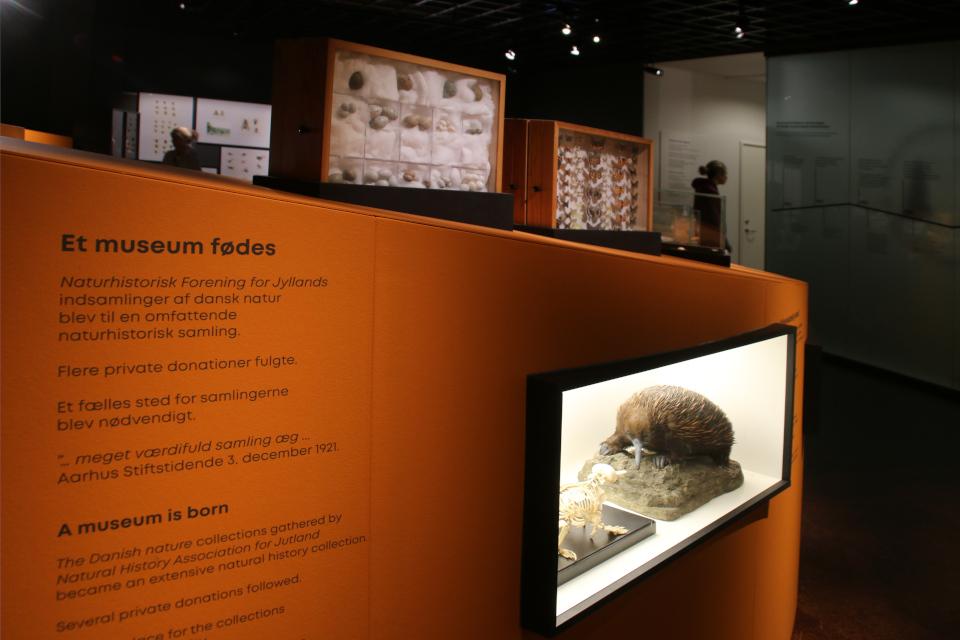 Ехидна. Музей естественной истории Орхус, Дания (Naturhistorisk Museum Aarhus). Фото 29 авг. 2021