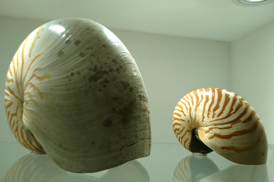 Раковины моллюсков, наутилус. Музей естественной истории Орхус, Дания (Naturhistorisk Museum Aarhus). Фото 29 авг. 2021