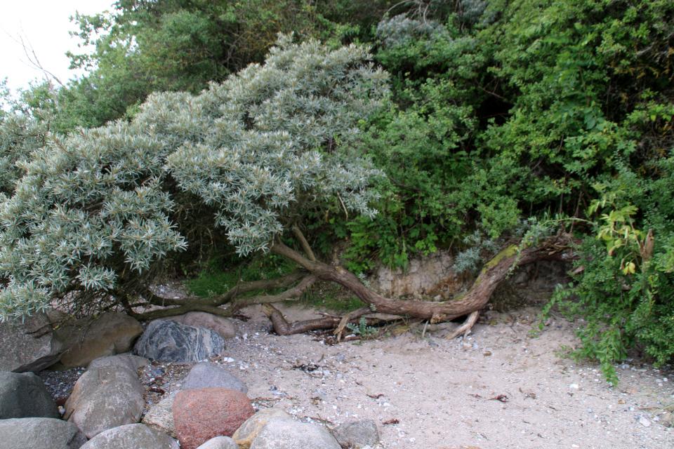 Облепиха. Берег леса Марселисборг, Орхус, Дания. Фото 15 авг. 2021