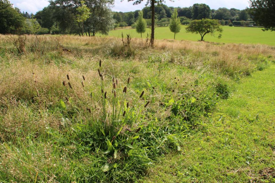 Подорожник ланцетолистный (дат. Lancet-vejbred, лат. Plantago lanceolata). Мемориальный парк Орхус, Дания. 9 авг. 2021