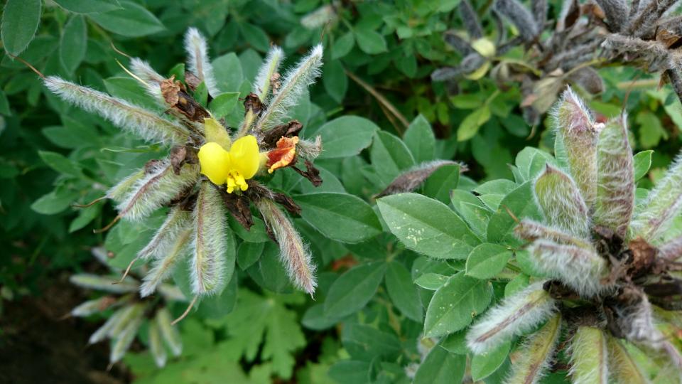 Ракитник волосистый (лат. Cytisus hirsutus). Ботанический сад Орхус 4 августа 2021, Дания