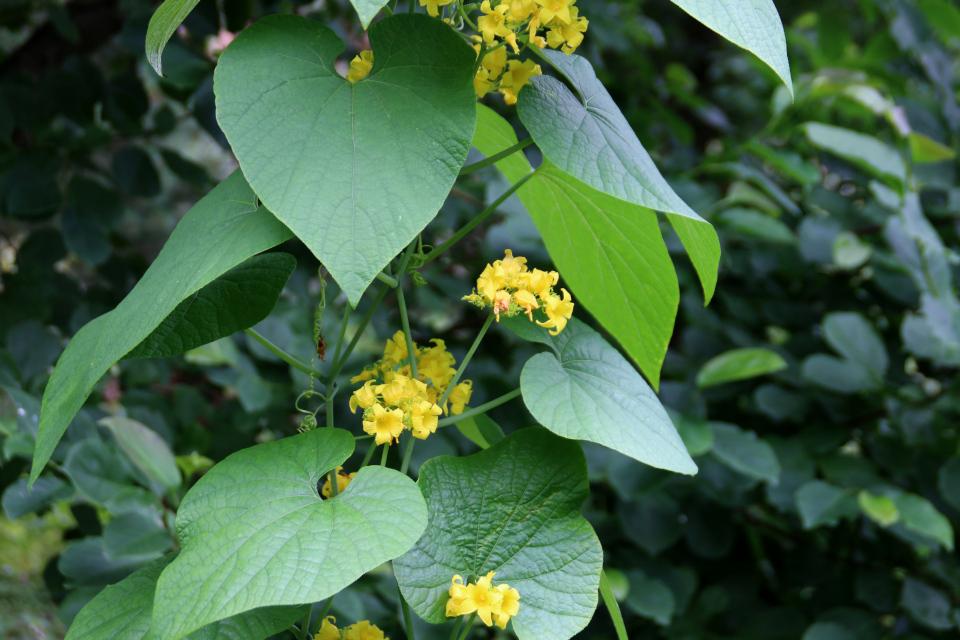 Тладианта сомнительная (дат. Manchurisk agurk, лат. Thladiantha dubia). Ботанический сад Орхус 4 августа 2021, Дания