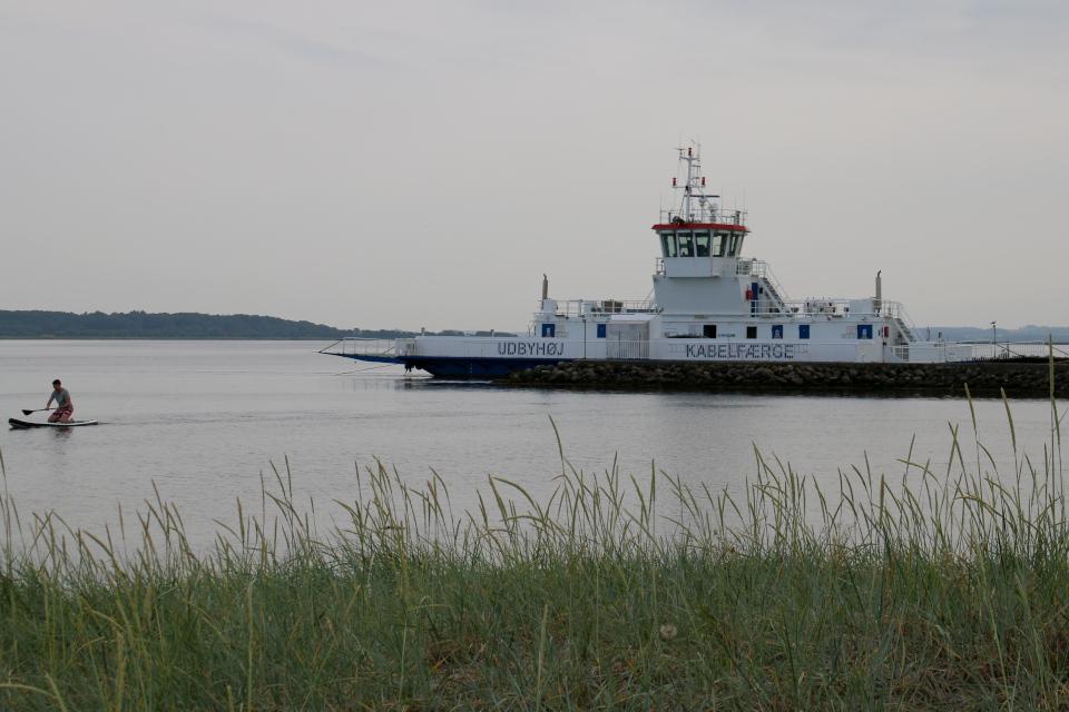 Колосняк песчаный (дат. marehalm, лат. Leymus arenarius). Кабельный паром. Фьорд Рандерс. Удбюхой (Udbyhøj, Havndal), Дания. Фото 28 июля 2021