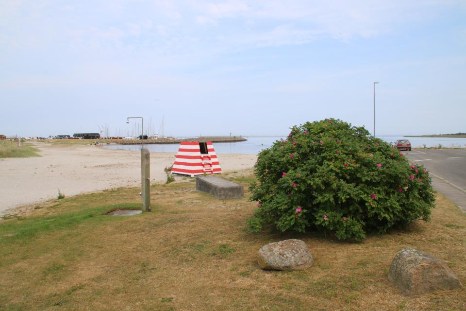 Роза морщинистая. Фьорд Рандерс. Удбюхой (Udbyhøj, Havndal), Дания. Фото 28 июля 2021