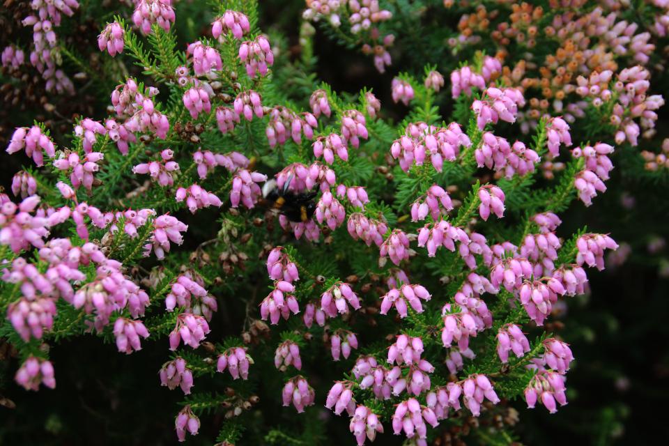 Цветы эрики верхушечной. Ботанический сад, г. Орхус, Дания 4 авг. 2021
