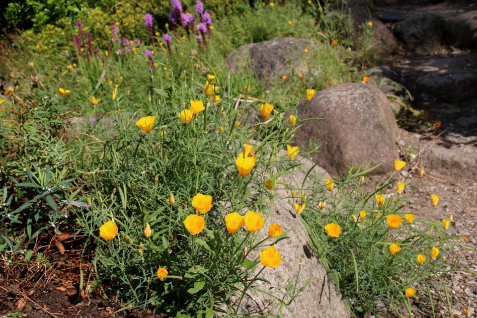 Эшшольция калифорнийская или калифорнийский мак (дат. Californisk guldvalmue, лат. Eschscholzia californica). Ботанический сад Орхус 4 августа 2021, Дания