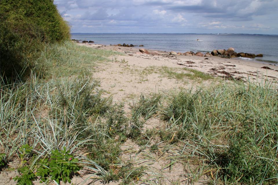 Колосняк песчаный (Marehalm (Leymus arenarius) . Берег леса Марселисборг, Орхус, Дания. Фото 15 авг. 2021