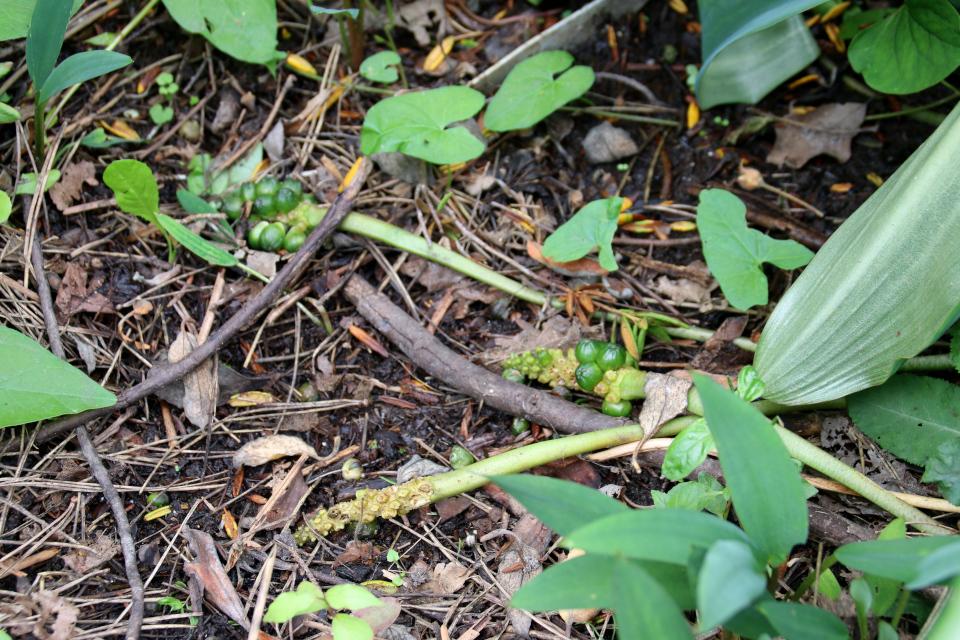 Плоды Оронтиума водного (лат. Orontium aquaticum). Ботанический сад, Орхус, 4 авг. 2021, Дания