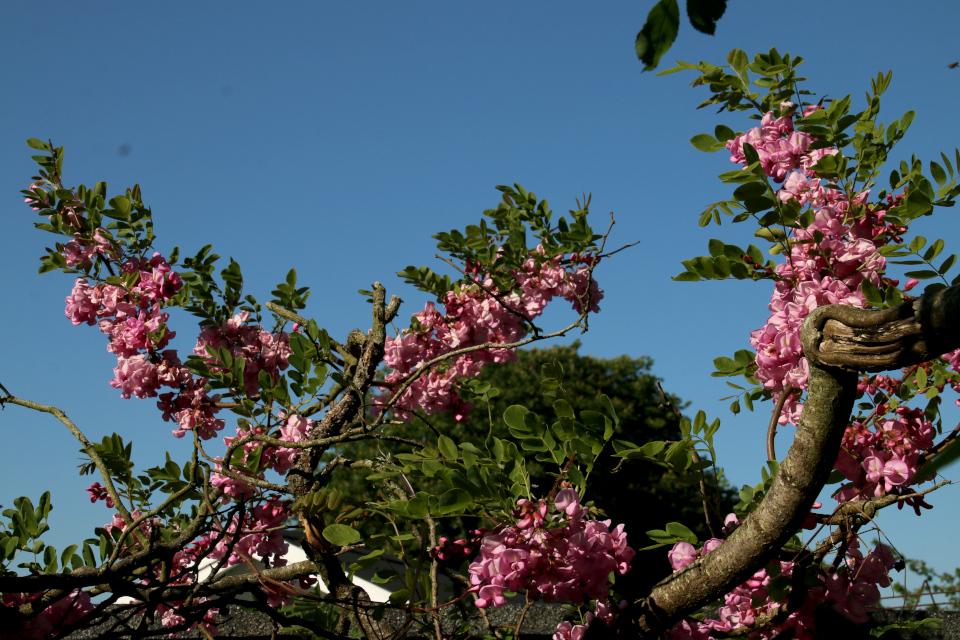 Розовая глициния. Сад Йенс Кёэ (Jens Kjøge have), Ørnegårdsvej 17, Хойбьерг, Дания. Фото 30 мая 2018