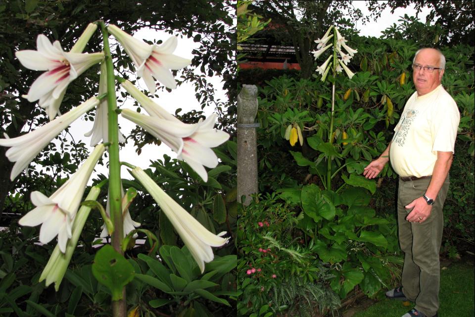 Кардиокринум гигантский, или Лилия гигантская (лат. Cardiocrinum Giganteum). Сад Йенс Кёэ (Jens Kjøge), Ørnegårdsvej 17, Хойбьерг, Дания. Фото 4 июл. 2011