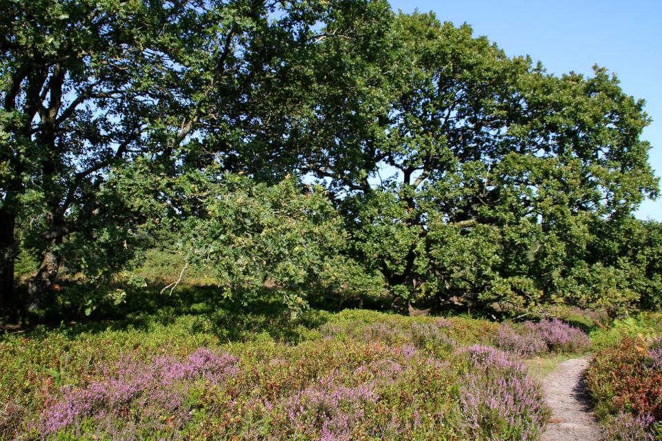 Орляк, дуб, черника. Вересковые холмы Синдбьерг и Стоубьерг (Lyngbakke Sindbjerg Stovbjerg), Сайс-Свайбэк (Sejs-Svejbæk), Дания. Фото 23 авг. 2021