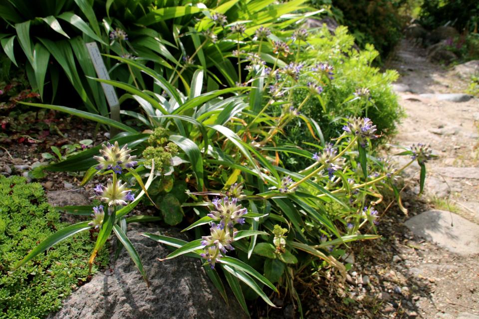 Горечавка Ольги (лат. Gentiana olgae) в ботаническом сад г. Орхус, Дания. Фото 4 авг. 2021