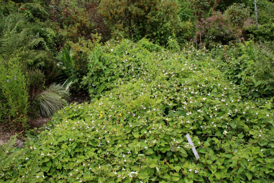Хауттюния сердцелистная (дат. Kamæleonblad, лат. Houttuynia cordata). Ботанический сад Орхус, Дания. 4 августа 2021