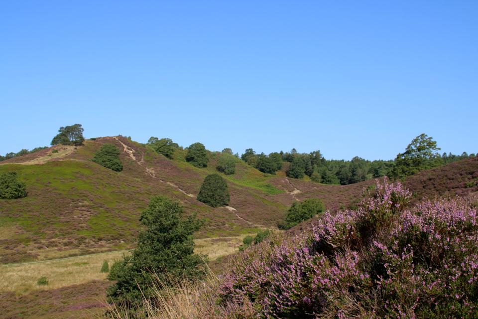 Вересковые холмы Синдбьерг и Стоубьерг (Lyngbakke Sindbjerg Stovbjerg), Сайс-Свайбэк (Sejs-Svejbæk), Дания. Фото 23 авг. 2021