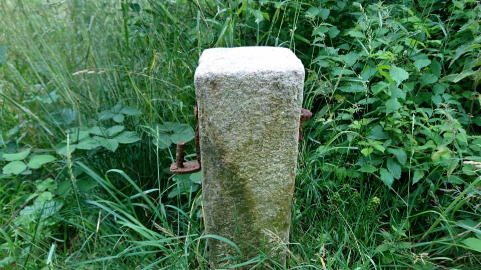 Аронник пятнистый (дат. Dansk Arum, лат. Arum alpinum) . Nørreskov, Колдинг, Дания. 12 июля 2021