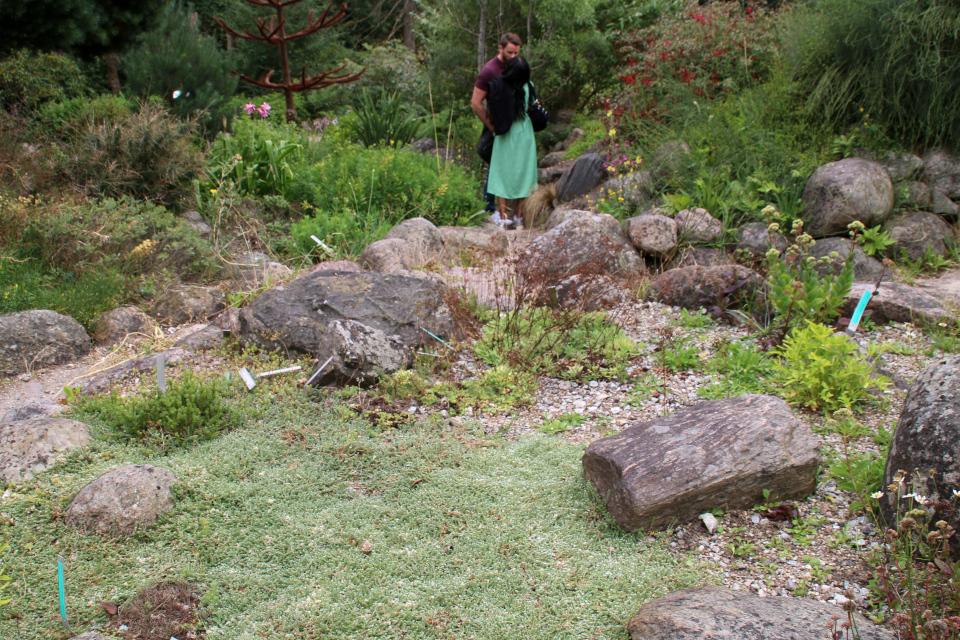 Приноготовник головчатый (лат. Paronychia capitata ) в ботаническом сад г. Орхус, Дания. Фото 4 авг. 2021