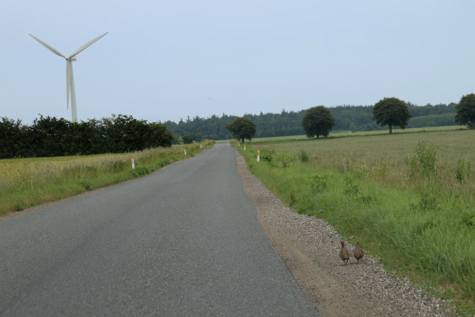 Серая куропатка (дат. agerhøne, лат. Perdix perdix). Удбюхой (Udbyhøj), Дания. Фото 28 июля 2021