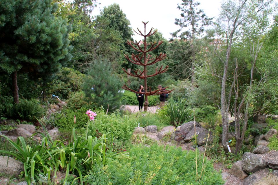 Майтенус бычий (справа) и араукария чилийская (в центре). Ботанический сад Орхус 4 августа 2021, Дания