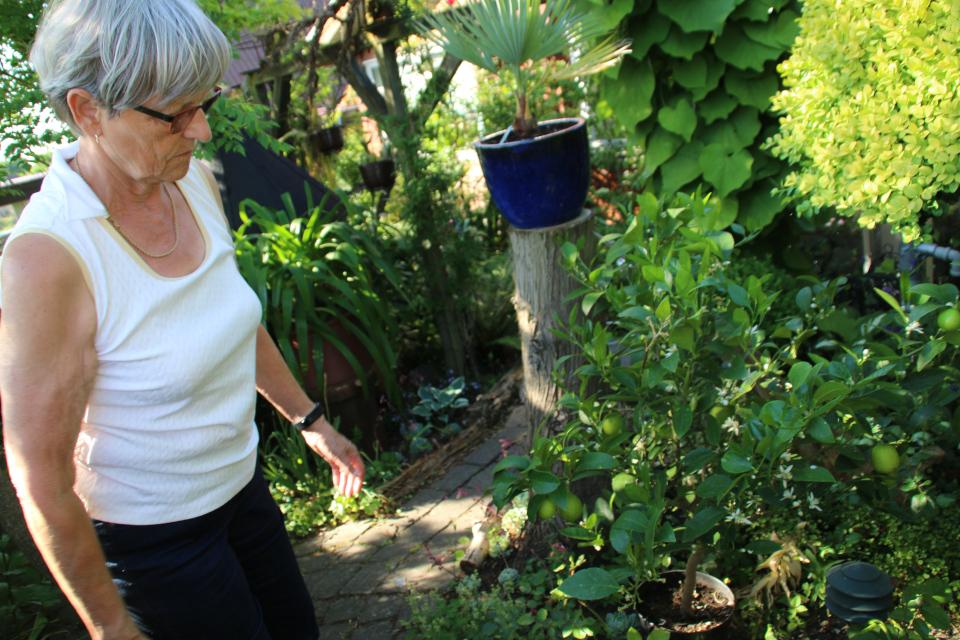 Пальма брахея (Mexican Blue Palm, лат. Brahea armata). Карен .Сад Йенс Кёэ (Jens Kjøge have), Ørnegårdsvej 17, Хойбьерг, Дания. Фото 30 мая. 2018