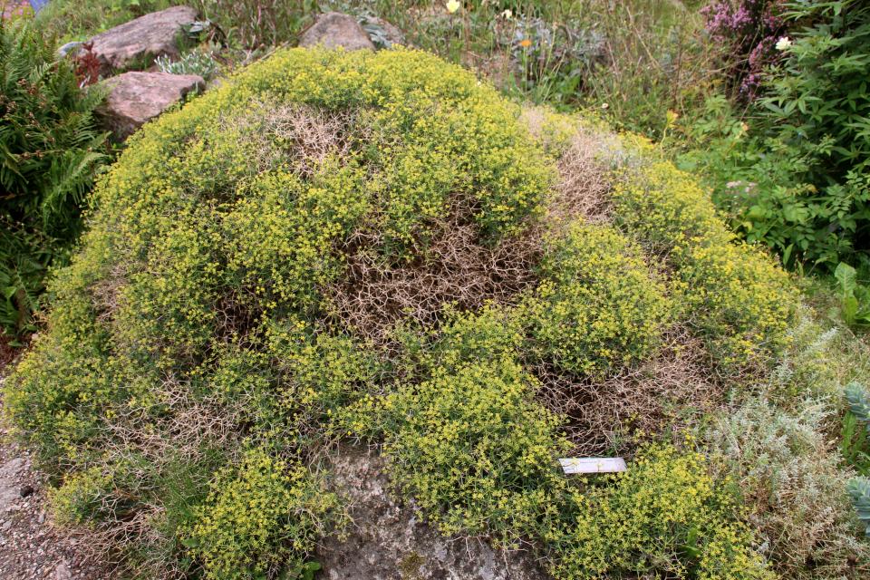 Володушка колючая (лат. Bupleurum spinosum). Ботанический сад Орхус 4 августа 2021, Дания