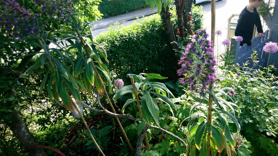 Echium, boraginaceae. Сад Йенс Кёэ (Jens Kjøge have), Ørnegårdsvej 17, Хойбьерг, Дания. Фото 2 июн. 2019