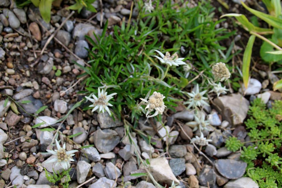 Эдельвейс альпийский (дат. Sne-edelweiss, лат. Leontopodium nivale) в ботаническом сад г. Орхус, Дания. Фото 4 авг. 2021