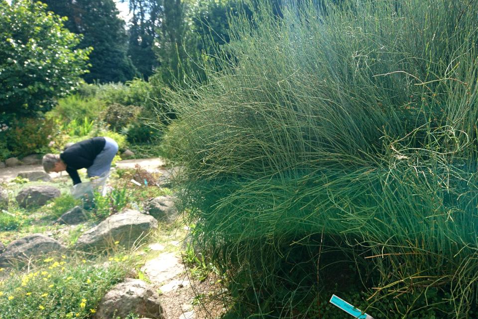 Хвойник американский (дат. Ledris andiana, лат. Ephedra americana). Ботанический сад Орхус 4 августа 2021, Дания