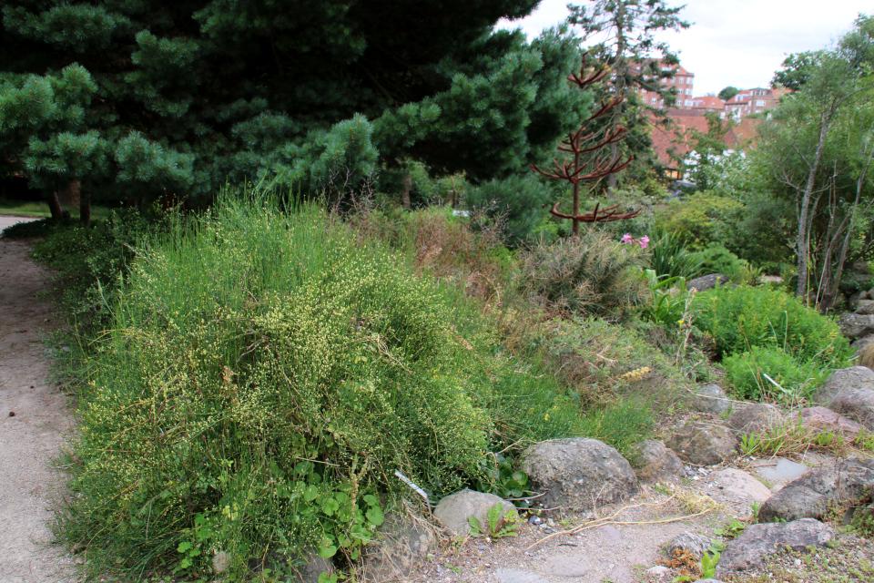 Хвойник чилийский / Эфедра чилийская (дат. Ledris, лат. ephedra chilensis). Ботанический сад Орхус 4 августа 2021, Дания