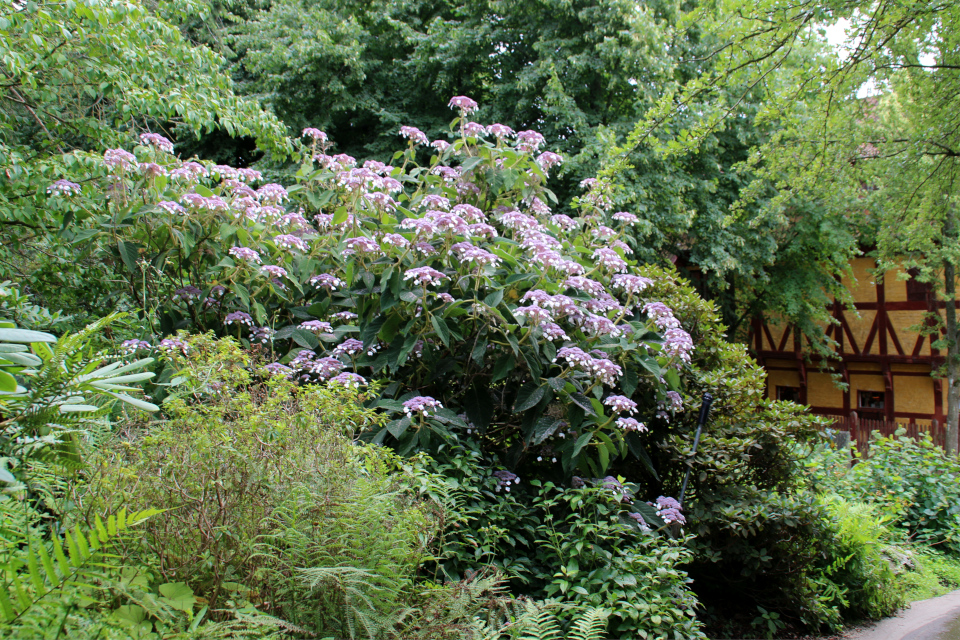 Гортензия Саржента (дат. Kinesisk hortensia, Hydrangea aspera ssp. sargentiana / Hydrangea sargentiana). Ботанический сад Орхус 4 августа 2021, Дания