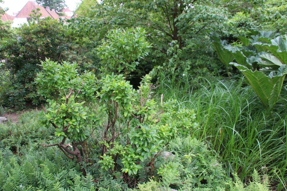 Черника Кавказская (Vaccinium arctostaphylos). Ботанический сад Орхус. 4 авг. 2021, Дания