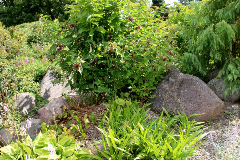 Лейцестерия красивая (дат. Himalayaleycesteria, лат. Leycesteria formosa) в ботаническом сад г. Орхус, Дания. Фото 4 авг. 2021