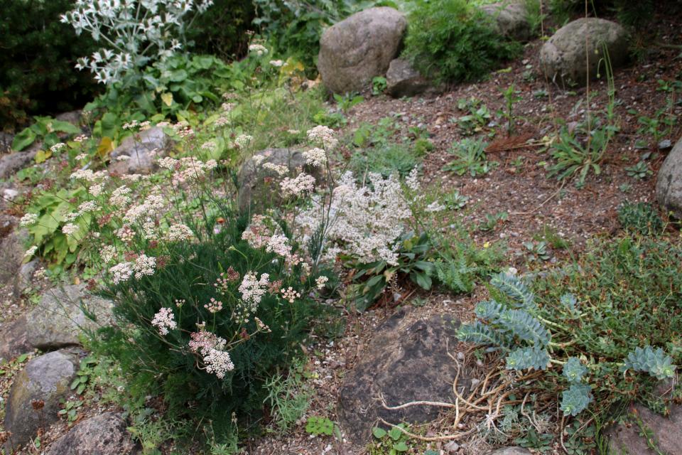 Лигустикум мутеллиновый (лат. Ligusticum mutellina) в ботаническом сад г. Орхус, Дания. Фото 4 авг. 2021