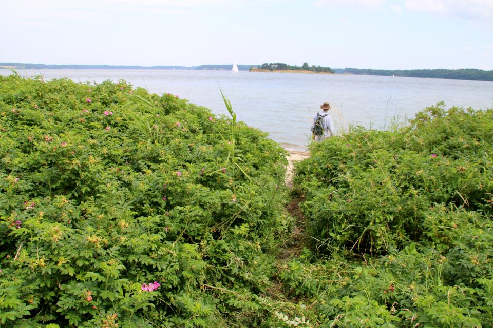 Шиповник морщинистый (дат. Rynket rose, лат. Rosa rugosa). Lille bælt. Фото 12 июл. 2021, Дания